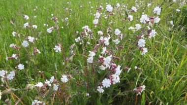 A field of the unusual blossom of the Bladder Campion, Silene vulgaris — Vídeo de Stock