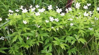 The Canada Anemone, Anemone canadensis — Vídeo de Stock