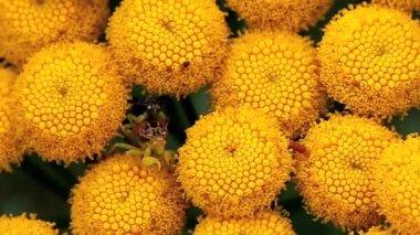 The Common Tansy plant, Tanacetum vulgare — Stock Video