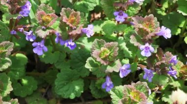 The Creeping Charlie plant, Ground-Ivy, Glechoma hederacea. — Stockvideo