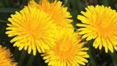 The Dandelion, Taraxacum officinale. — Stock Video