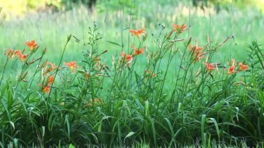 The Day Lily, a common roadside escaped flower — Stockvideo