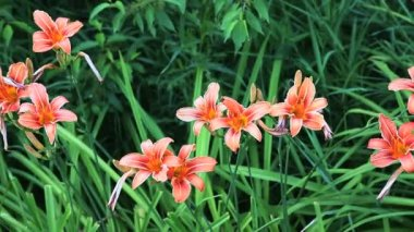 The Day Lily, a common roadside escape — Stockvideo