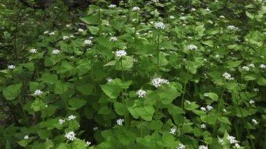 Garlic Mustard, Alliaria petiolata, an invasive plant — Stock Video