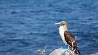 A Blue-footed Booby, Sula nebouxii, in the Galapagos Islands — Stock Video