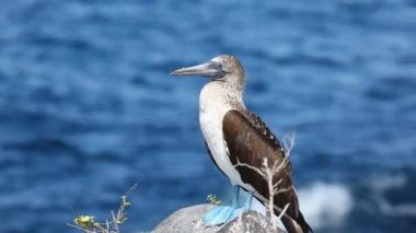 Blue-footed Booby, Sula nebouxii, in the Galapagos Islands — Stock Video