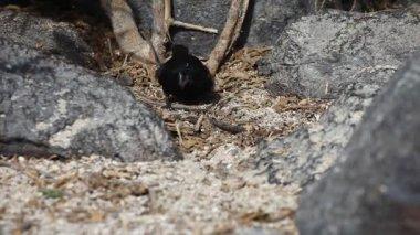 Grote grond Finch, Geospiza magnirostris, van de Galapagos — Stockvideo