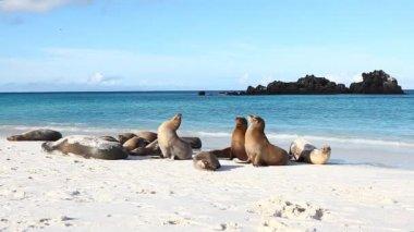 Group of Galapagos Sea Lion, Zalophus wollebaeki — Stock Video