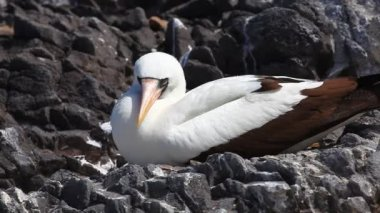 The Nazca Booby, Sula granti, from the Galapagos Islands — Stock Video