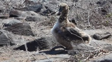 Waved Albatross Chick, Phoebastria irrorata, from the Galapagos — Stock Video