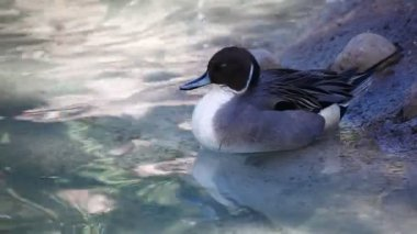 An elegant male Northern Pintail — Stock Video