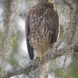 Juvenile Harris Hawk perched in a tree — Stock Photo #78873470