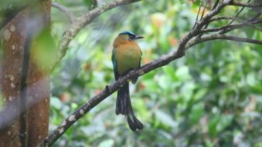 Blue-crowned Motmot perched in a tree — Stock Video