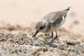 Lesser Sand Plover looking food at beach — Foto de Stock