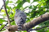 Crested Goshawk perching on tree — Foto de Stock