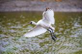 Black-faced Spoonbill flying - prepare to landing — Stock Photo