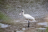Black-faced Spoonbill standing in water — Stock Photo