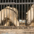 Two polar bears in the zoo cage — Stock Photo #61928383