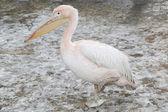 Freezing cold white pelican — Stockfoto