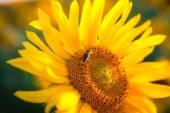 Detail včela na slunečnice — Stock fotografie