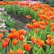 Colorful tulips and other flowers in royal park rajapruek. — Stock Photo #60296407