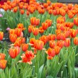 Colorful tulips and other flowers in royal park rajapruek. — Stock Photo #60296569