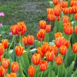 Colorful tulips and other flowers in royal park rajapruek. — Stock Photo #60296763