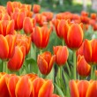 Colorful tulips and other flowers in royal park rajapruek. — Stock Photo #60297209