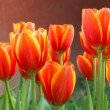 Colorful tulips and other flowers in royal park rajapruek. — Stock Photo #60297319