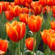 Colorful tulips and other flowers in royal park rajapruek. — Stock Photo #60297365