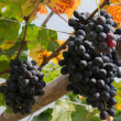 Purple red grapes with green leaves on the vine. fresh fruits — Stock Photo #60298151