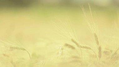 Paja de trigo al atardecer — Vídeo de Stock