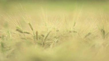 Wheat straws at sunset — Stock Video