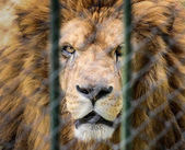 Lion in the zoo behind the fence — Stock Photo