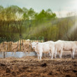 Cows looking into camera at sunset — Stock Photo #63547699