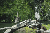 Pelicans resting on a branch. — Fotografia Stock