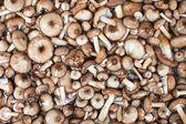 Mushrooms Series: Honey Fungus — Stock Photo