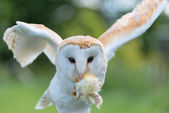 Barn Owl close up — Stock Photo