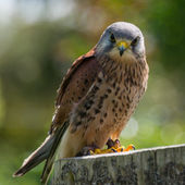 Kestrel, bird of prey — Stock Photo