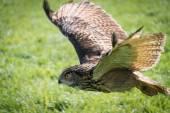 European Eagle Owl — Fotografia Stock