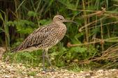 Curlew wading bird — Stock Photo