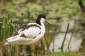 Avocet wading bird — Stock Photo