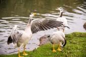 Bar-headed geese — Stock Photo