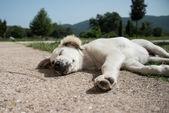 Puppy asleep — Stock Photo