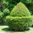 Topiary acorn — Stock Photo #58225981