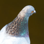 Head of feral pigeon — Stock Photo