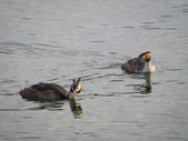 European great crested grebe pair — Stock Photo