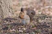 Furry red squirrel stands on paws and eats an acorn. — 图库照片