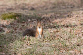 Curious red squirell stands on paws and looks streight. — Stock Photo