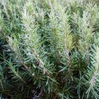 Closeup of a rosemary plant — Stock Photo #63415657